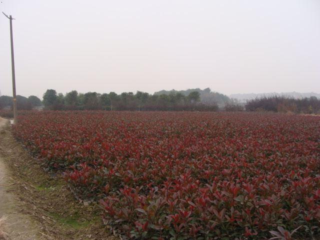 宿迁2.5米红叶石楠 推荐咨询 南京市浦口区远近苗圃供应