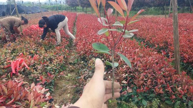 徐州红叶石楠 有口皆碑 南京市浦口区远近苗圃供应
