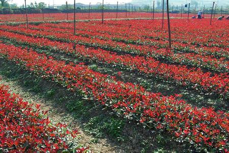 无锡2米红叶石楠 来电咨询 南京市浦口区远近苗圃供应