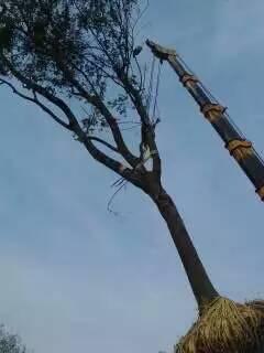宿迁6公分朴树