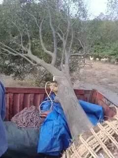 郑州8公分朴树 以客为尊 南京市浦口区远近苗圃供应