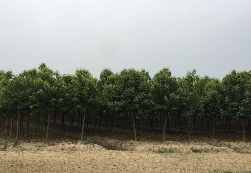 安徽6-7公分大叶女贞 值得信赖 南京市浦口区远近苗圃供应