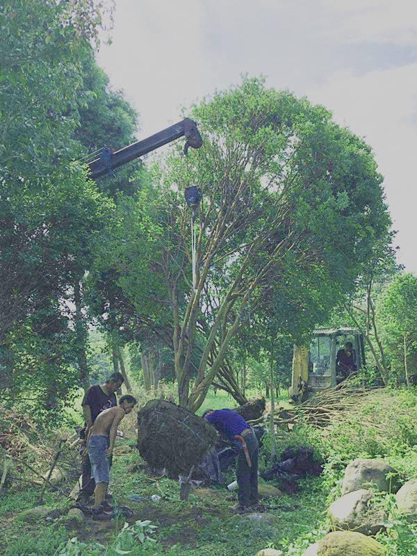 河北树葡萄树