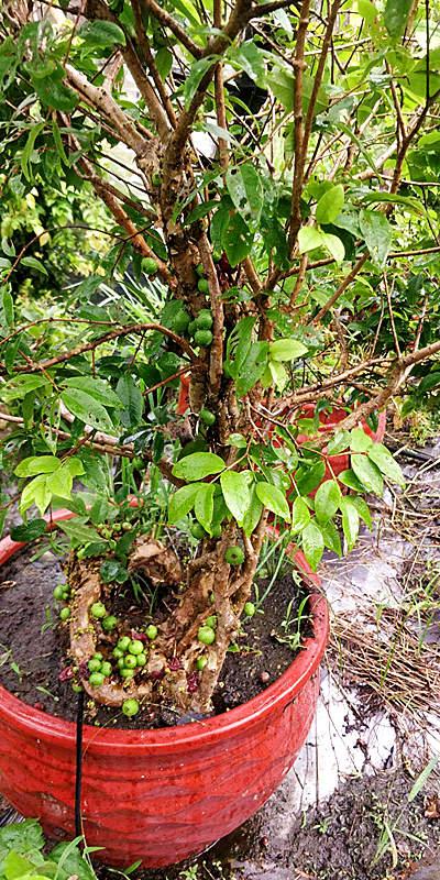 树葡萄树销售 泉州市绿生农业开发供应