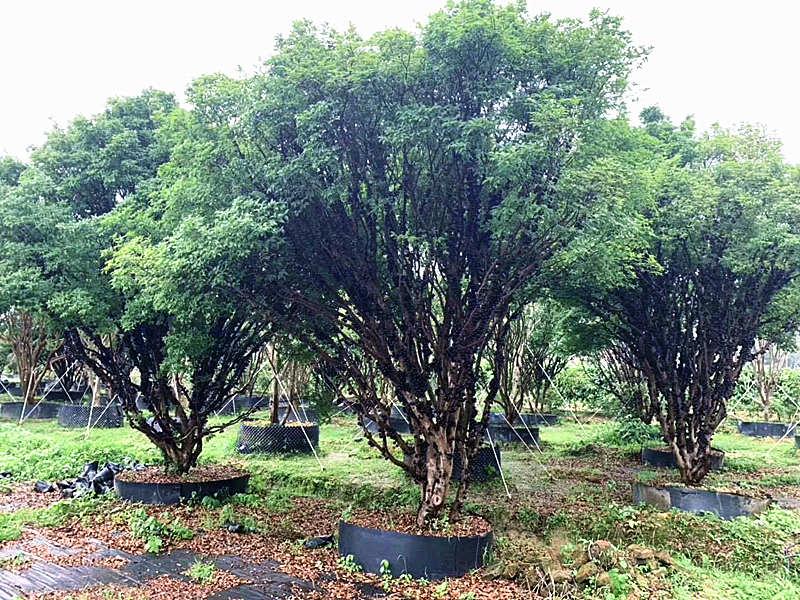 桂林樹葡萄樹價格 泉州市綠生農業開發供應