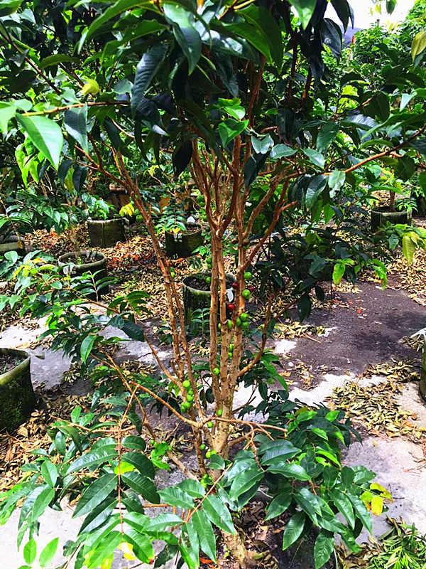 福建樹葡萄盆景 泉州市綠生農業開發供應