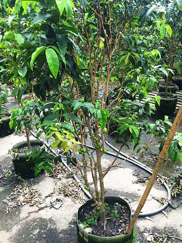树葡萄树木出售 泉州市绿生农业开发供应