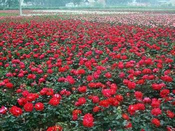 广西正宗平阴玫瑰 值得信赖「山东元舜现代农业科技供应」
