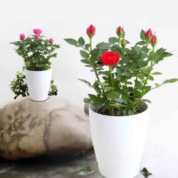 天津优质玫瑰苗木价格 服务为先