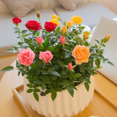 贵州玫瑰苗木的用途和特点,玫瑰苗木