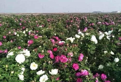 天津玫瑰苗木的用途和特点,玫瑰苗木