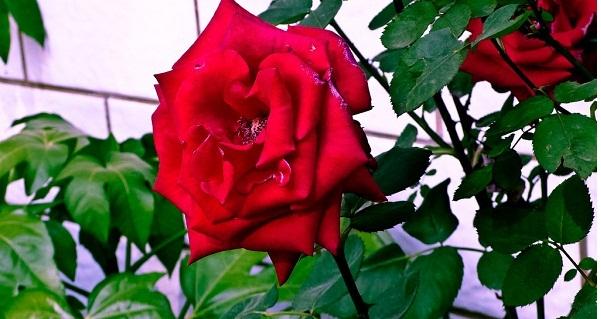 直销玫瑰的用途和特点 信誉保证