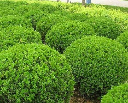 青島優良綠化苗木的用途和特點,綠化苗木