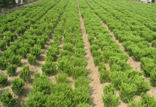 綠化苗木青島優良綠化苗木的用途和特點,綠化苗木