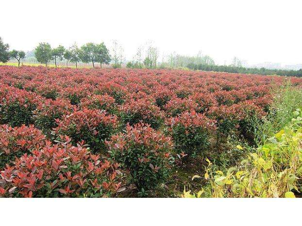 淮安80公分紅葉石楠球 抱誠守真 南京市浦口區遠近苗圃供應