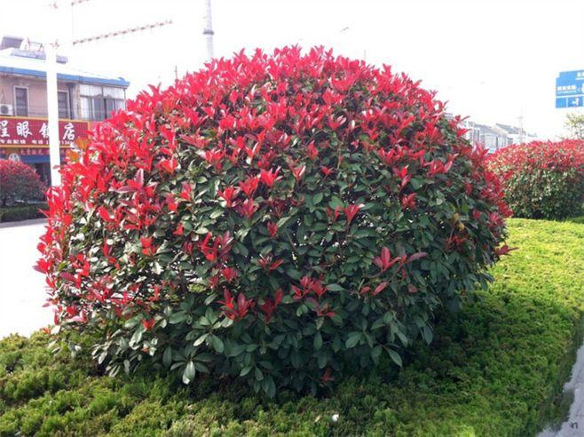 合肥50-60公分红叶石楠球 推荐咨询 南京市浦口区远近苗圃供应