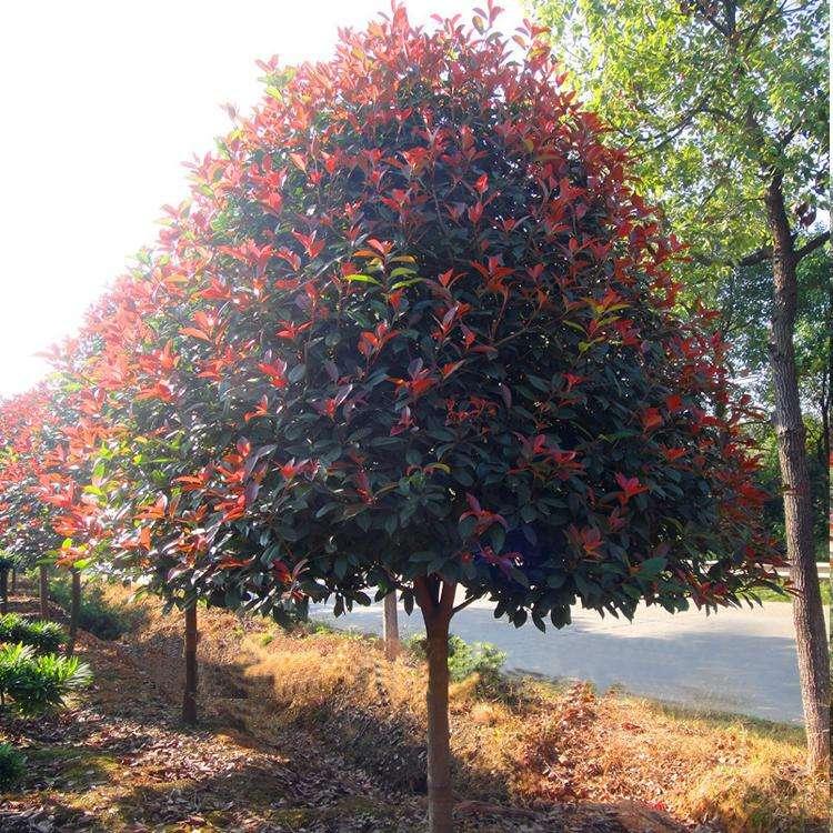 三亚红叶石楠树 欢迎咨询 南京市浦口区远近苗圃供应