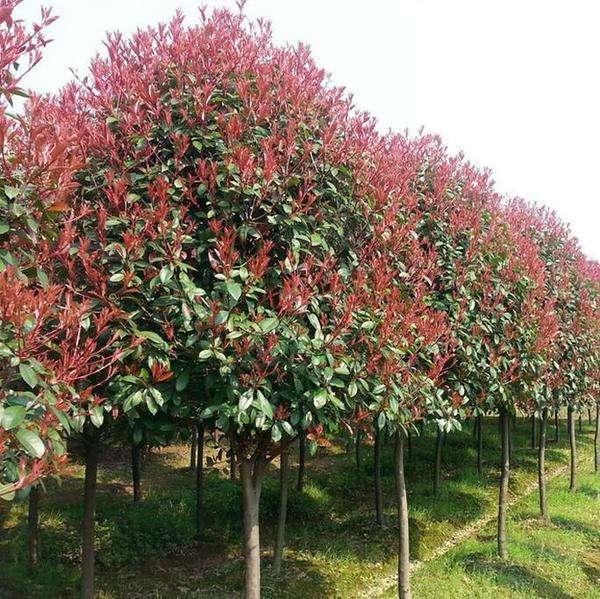 淮安红叶石楠树 服务为先 南京市浦口区远近苗圃供应