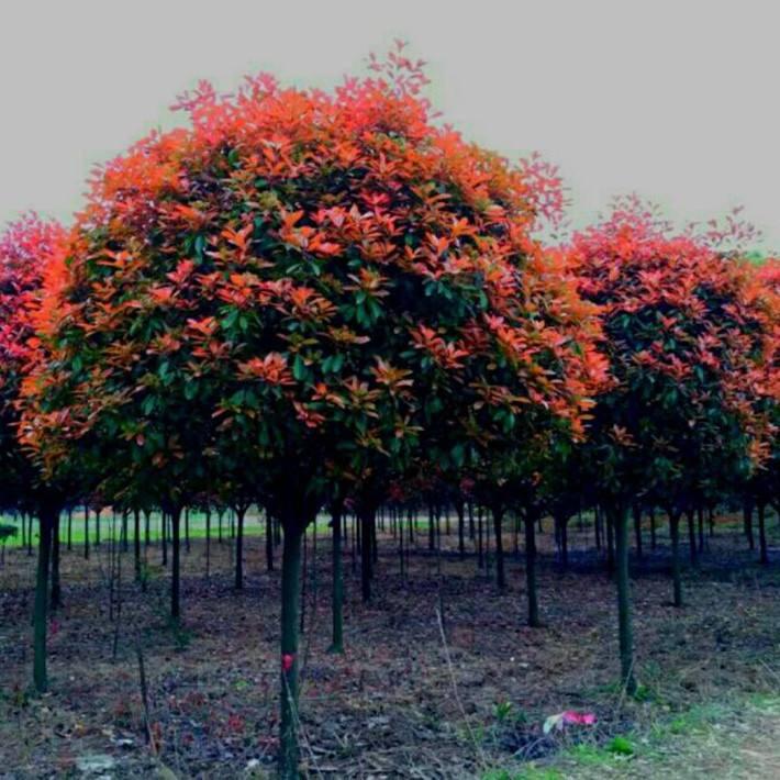 吉林红叶石楠树 铸造辉煌 南京市浦口区远近苗圃供应