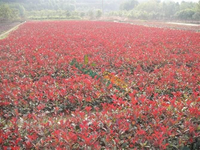 绍兴红叶石楠小苗 抱诚守真 南京市浦口区远近苗圃供应
