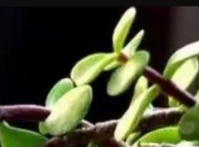 三门峡马齿苋「南京泽朗生物科技供应」