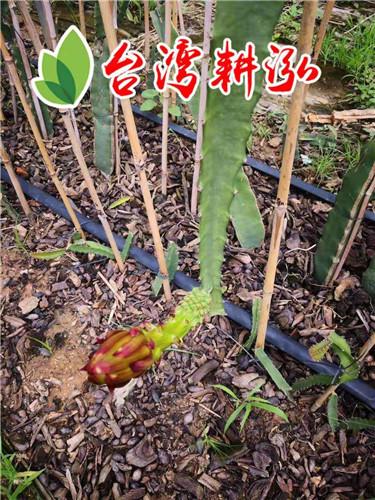 黄皮火龙果树苗种植技术 厦门耕泓农业科技供应