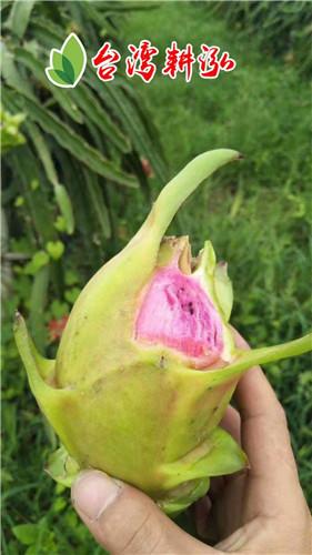 柳州黄心火龙果种植技术 厦门耕泓农业科技供应