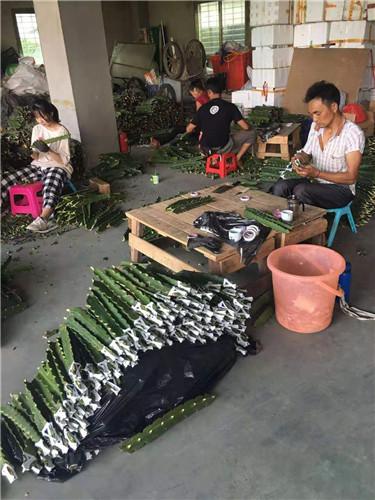 福建麒麟果种植基地 厦门耕泓农业科技供应