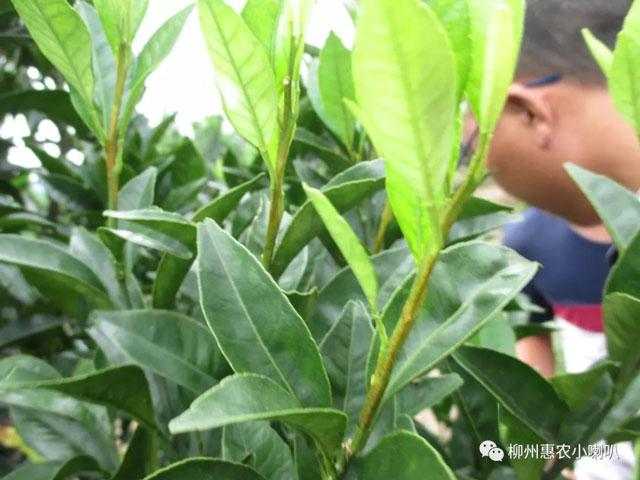 北京檸檬缺銅病貨源充足,缺銅病