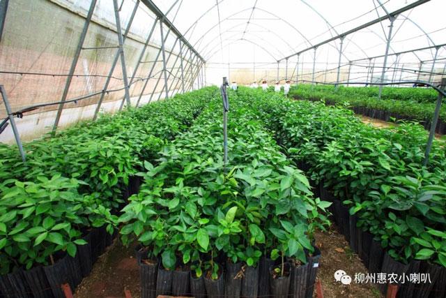 武鸣柑橘黄龙病是什么 欢迎咨询 惠农化工供应