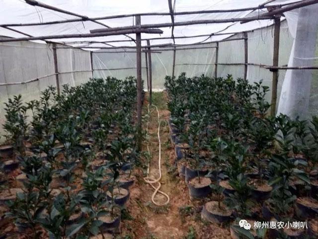 宫本黄龙病防控措施 欢迎咨询 惠农化工供应