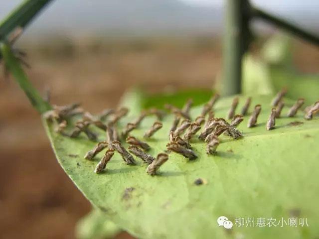 武鳴檸檬黃龍病預防 歡迎咨詢 惠農化工供應