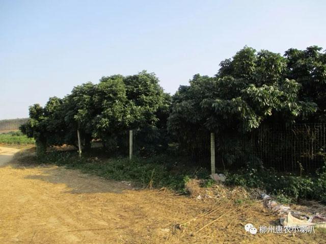 柳州黄龙病哪家好 欢迎咨询 惠农化工供应