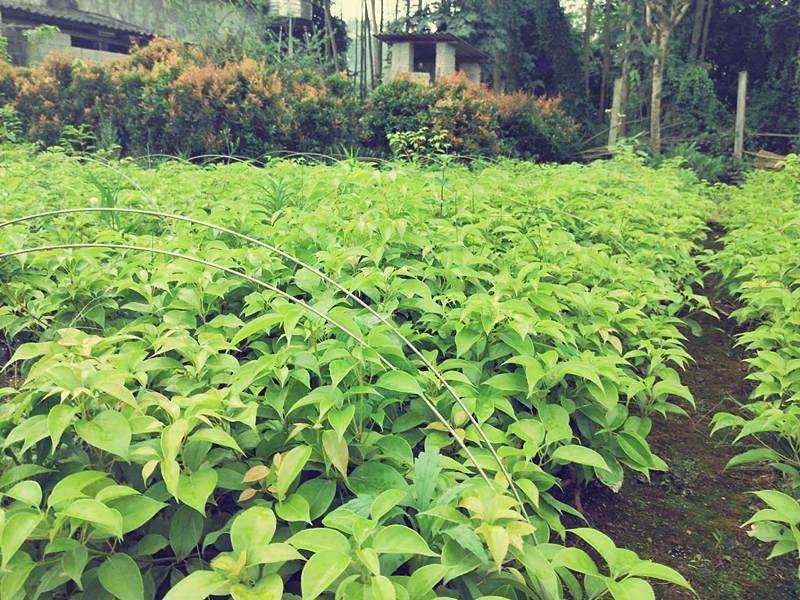 南平牛樟樹價格 泉州市綠生農業開發供應