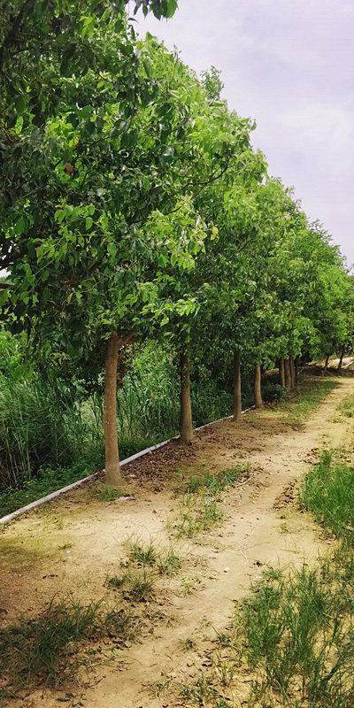泉州牛樟树生长环境 来电咨询 泉州市绿生农业开发供应
