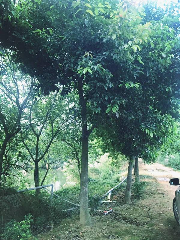 龍巖牛樟樹咨詢 泉州市綠生農業開發供應