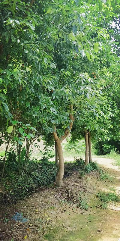 福州牛樟树种植农场 泉州市绿生农业开发供应