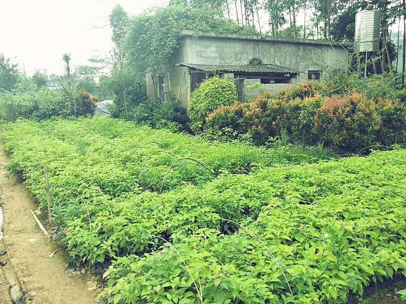 龙岩牛樟树育种 泉州市绿生农业开发供应