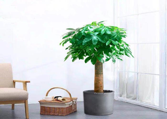 盐田区专业发财树质量放心可靠,发财树