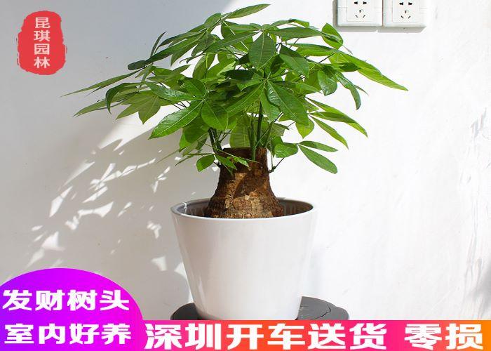广东发财树价格,发财树