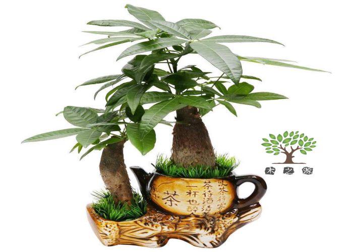 盐田区优质发财树哪家好,发财树