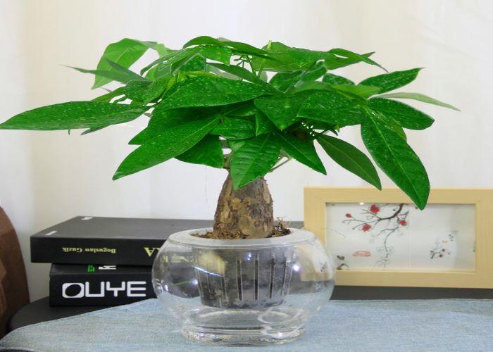 罗湖区销售发财树来电咨询,发财树