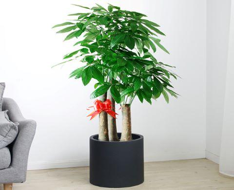 龙岗区口碑好发财树需要多少钱 推荐咨询「深圳市绿园轩园林花卉供应」