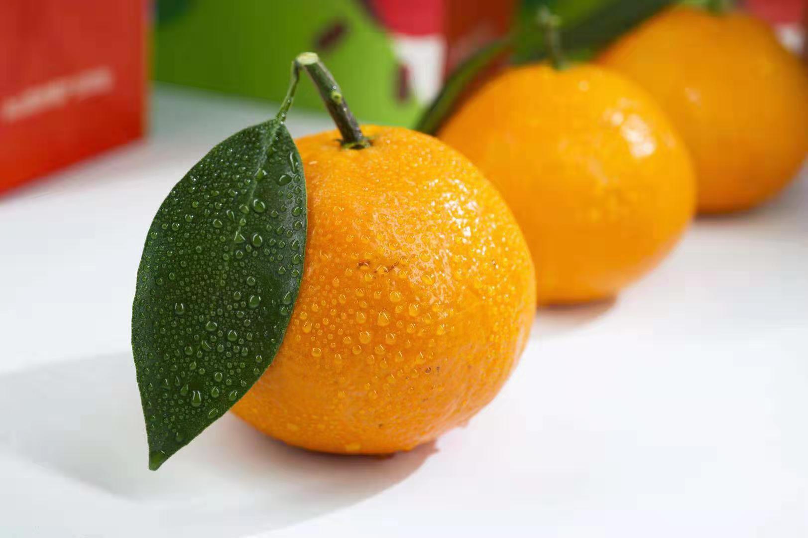 舟山红美人柑橘 抱诚守真「象山文祥家庭农场供应」