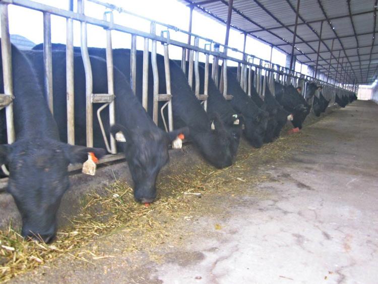 吉林育肥安格斯牛出售 嘉祥县华盛养殖场供应