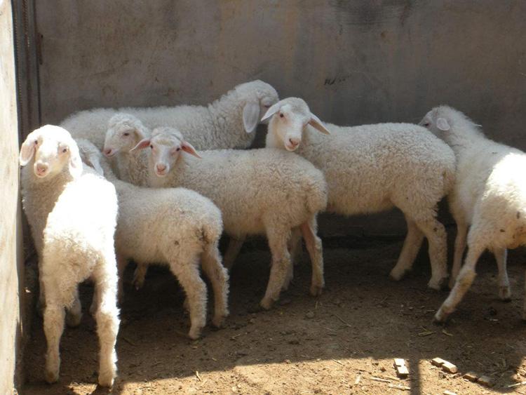河北優質小尾寒羊量大從優 嘉祥縣華盛養殖場供應