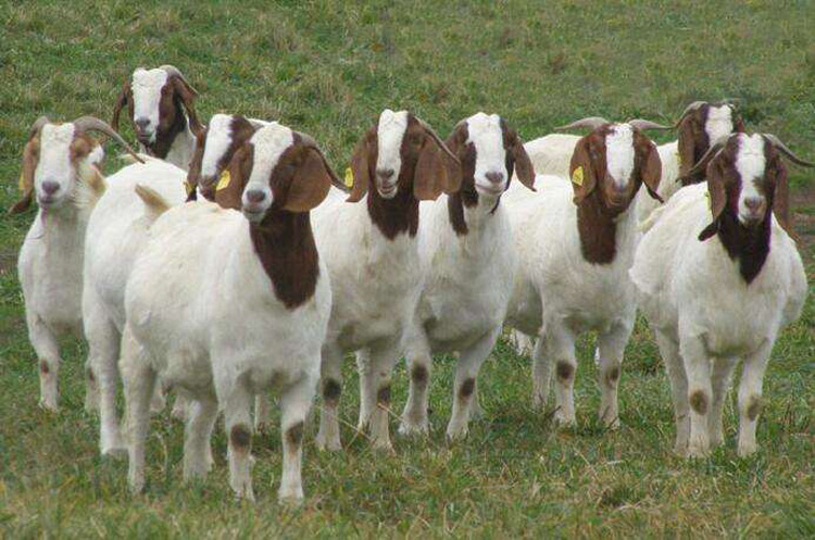 Liaoning high-quality Boer goats have a large amount of Congyou Jiaxiang Huasheng Farm Supply