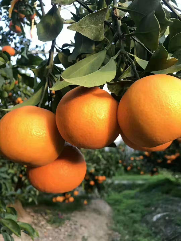 象山红美人柑橘要多少钱,象山红美人柑橘