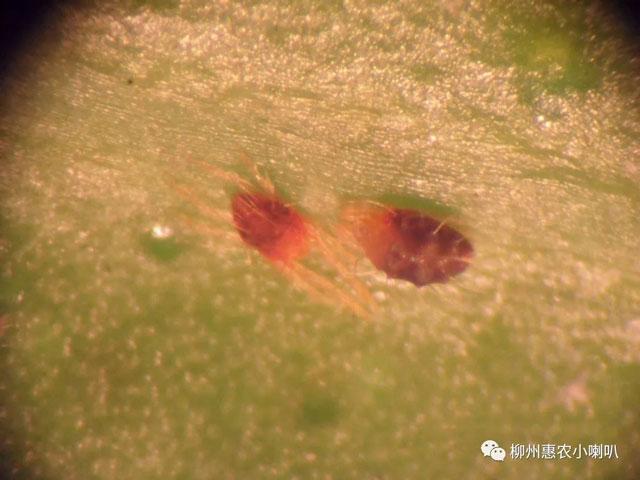 四川沃柑红蜘蛛 欢迎咨询 惠农化工供应