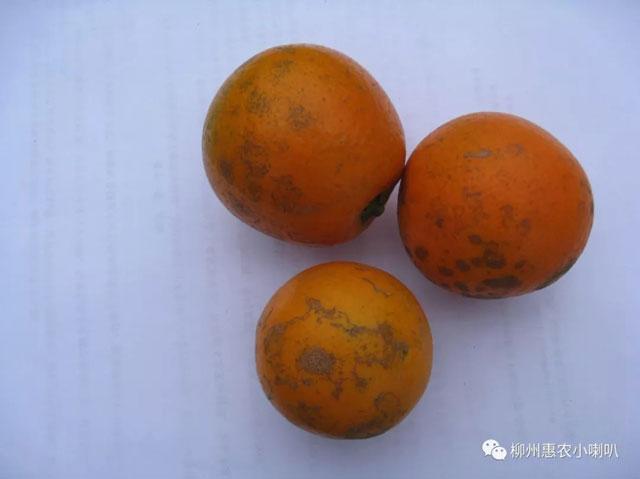 柳州甜橙红蜘蛛预防 欢迎咨询 惠农化工供应